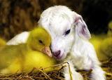 Duckling&Lamb