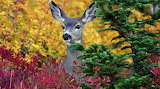 Deer in the augumn color