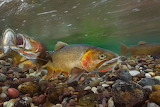 Male cutthroat trouts Gros Ventre River Jackson Hole Wyoming