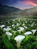 Lliri d'Aigua - Water lily
