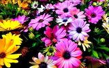 Colorful Dasies