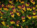 beautiful flowers-pansies