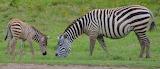 Zebras ~ Kenya