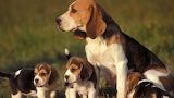 Baby-beagles