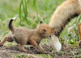 naughty fox cub