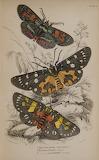 "Science scientificillustration cincylibrary ""Exotic Moths"" 1858"