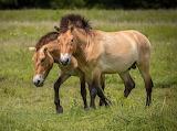 Prezewalski's horse
