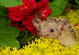 ☺♥ Cute baby hedgehog...
