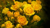 Yellow-roses-beautiful-images