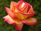Yellow-and-pink-rose