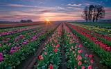 Tulipanes 5