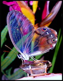 Rubia Luz transparent butterfly