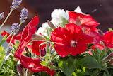 Petunien in Blüte