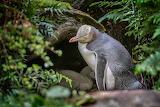 Enderby Island, Yellow Eyed Penguin