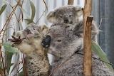 Koala Gladys with her twin Joeys