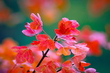 Tree, branch, red leaves, autumn, nature