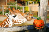 Animals - Giraffe and the pumpkin