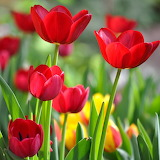 Red Tulips...