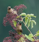 Birds - Cedar Waxwings - Illinois