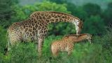 Giraffe-mom'sLoove