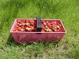 Erdbeeren-Ernte