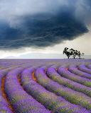 LavenderFieldsValensoleFrance