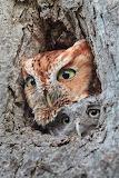 "Science tumblr natgeoyourshot ""Lesley Mattuchio"" ""Screech Owls"""
