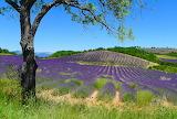 France Fields Lavandula Puimichel Hill Trunk tree 518891 1280x86