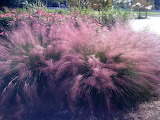 Pink Muhly Grass credit The Advocate 1200x900