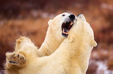 Jason Savage Photography Brawling Bears