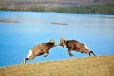 Rams Butting Jaspar National Park Alberta Canada