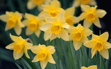 Close-up-flowers-daffodils
