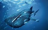 Whale shark-MAC OS X Mountain Lion HD Wallpapers 2560x1600