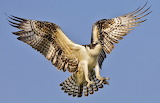 #Osprey