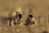 Mudskippers duet