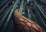 Bamboo Gochang South Korea by Nate Merz
