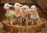 Lambs in jackets