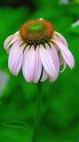 A single corn flower
