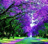 JacracandaStreet SydneyAustralia