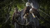 Canada-Raptor-Bald-Eagle-Ketchikan