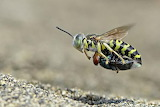 Sand wasp with a fly