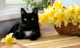 Black Cat And Daffodils