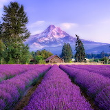⛰Mt Hood, Lavender Valley, Oregon...