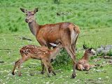 deer babe with mom