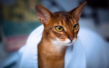 Cat-abyssinian-white-towel