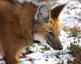 Endangered Species South American Maned Wolf