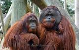 Orangutan Couple