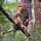rhesus macaque (Macaca mulatta mulatta),female