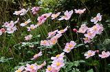 IMG_6585_pe Anemone Japonica