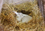 Lamb In A Nest